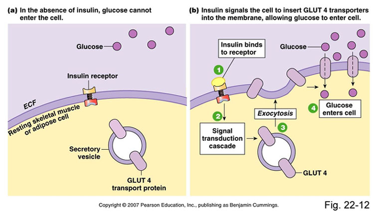 Mechanism By Which Dietary Fat Can Raise Blood Glucose And ...
