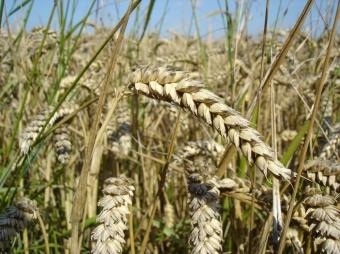 WheatPlant2