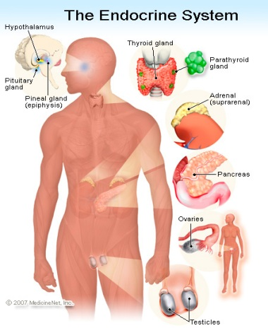 EndocrineSystem