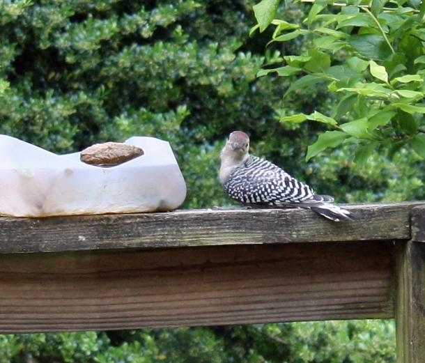 WoodpeckerJuvenile5