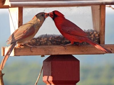 CardinalsFeedingEachOther2